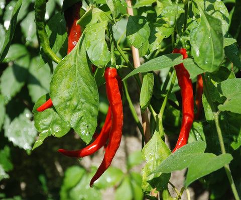 Chilli Cayenne Long Slim - Seeds to Sow Limited