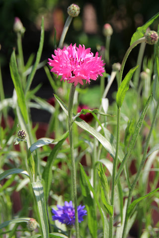 Cornflower - Red Boy - Seeds to Sow Limited