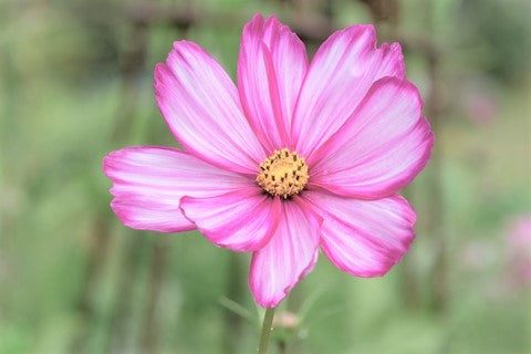 Cosmos - Candystripe - Seeds to Sow Limited