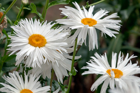 Chrysanthemum - Crazy Daisy - Seeds to Sow Limited