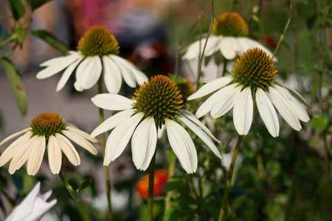 Echinacea 'White Swan' - Seeds to Sow Limited