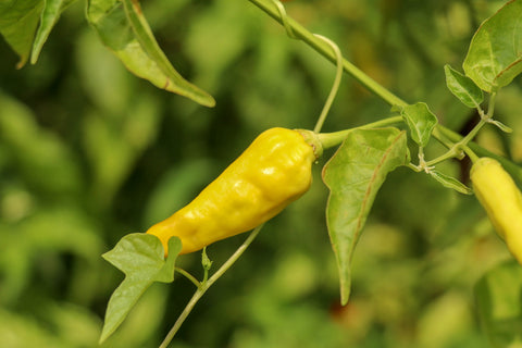 Chilli Hot Lemon