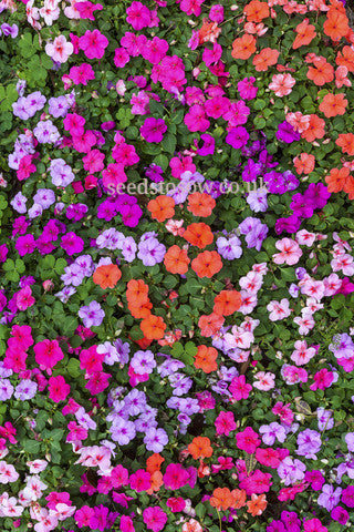 Impatiens - Lollipop Mixed F1 - Seeds to Sow Limited
