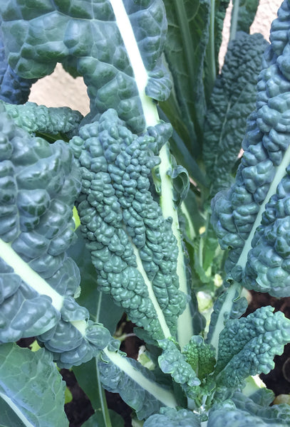 Kale Nero Di Toscana (Black Tuscan Kale) - Seeds to Sow Limited