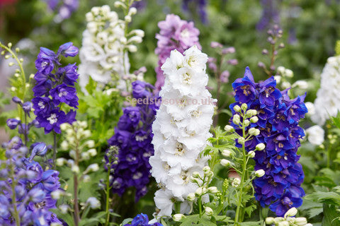 Larkspur -Giant Imperial Mix