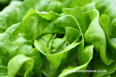 Lettuce All Year Round - Seeds to Sow Limited