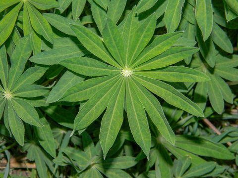 Blue Lupin Green Manure - Seeds to Sow Limited
