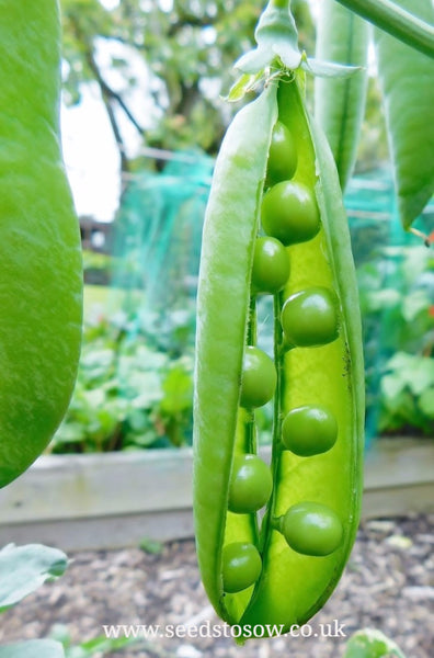 Pea Kelvedon Wonder - Seeds to Sow Limited