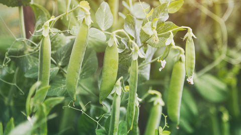 Pea Douce Provence - Seeds to Sow Limited