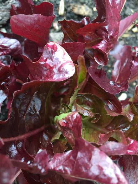 Salad Leaves Red Salad Bowl - Seeds to Sow Limited