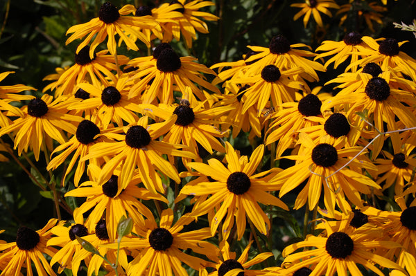 Rudbeckia - Goldsturm - Seeds to Sow Limited