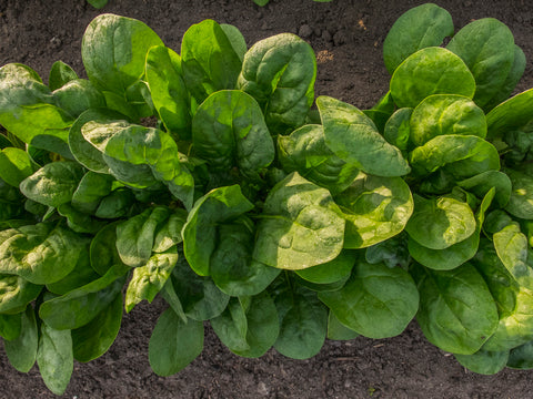 Spinach  Medania - Seeds to Sow Limited