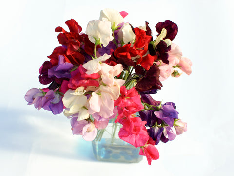 Sweet Pea - Mammoth Mixed - Seeds to Sow Limited