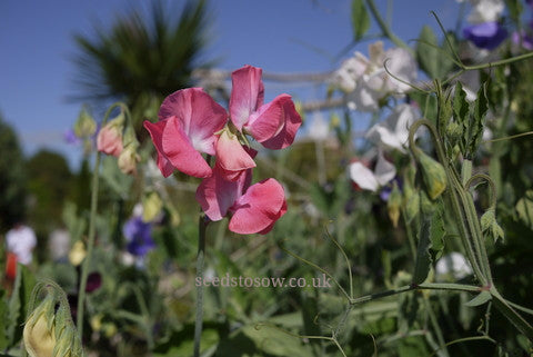 Sweet Pea - Incense Mixed - Seeds to Sow Limited