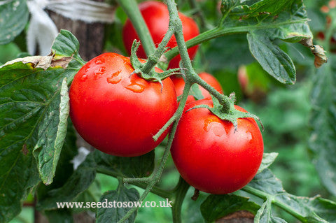 Tomato Moneymaker - Seeds to Sow Limited
