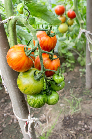 Tomato Tigerella - Seeds to Sow Limited