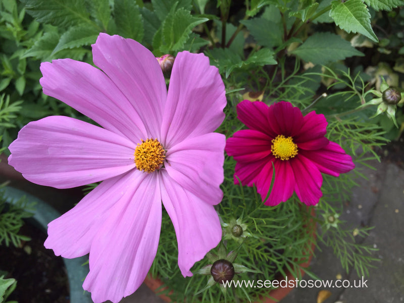 Cosmos - Sensation Mixed - Seeds to Sow Limited