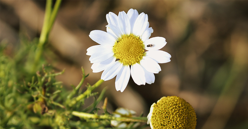 Chamomile in beauty products