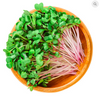 MICROGREENS - Organic Sprouting Red Radish (Raphanus Sativus L.)