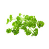 Moss Parsley - Petroselinum Crispum