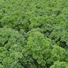 Load image into Gallery viewer, Kale - Brassica oleracea