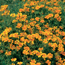 Load image into Gallery viewer, Marigold - Tagetes tenuifolia