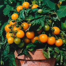 Load image into Gallery viewer, Determinate Bush Tomatoes - Solanum lycopersicum