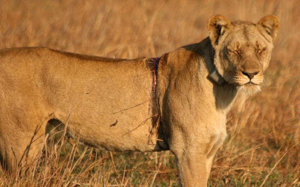 Lion Queen.. a feel good conservation story