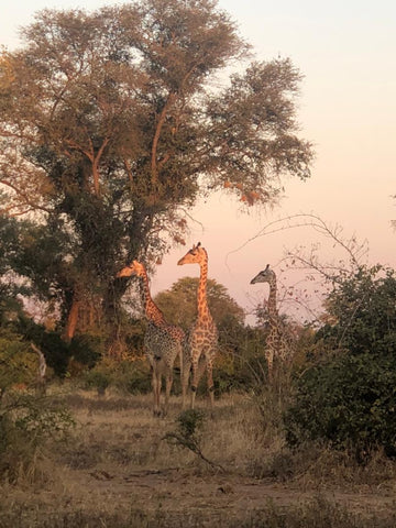 Vi's first month in the Valley : My first giraffes