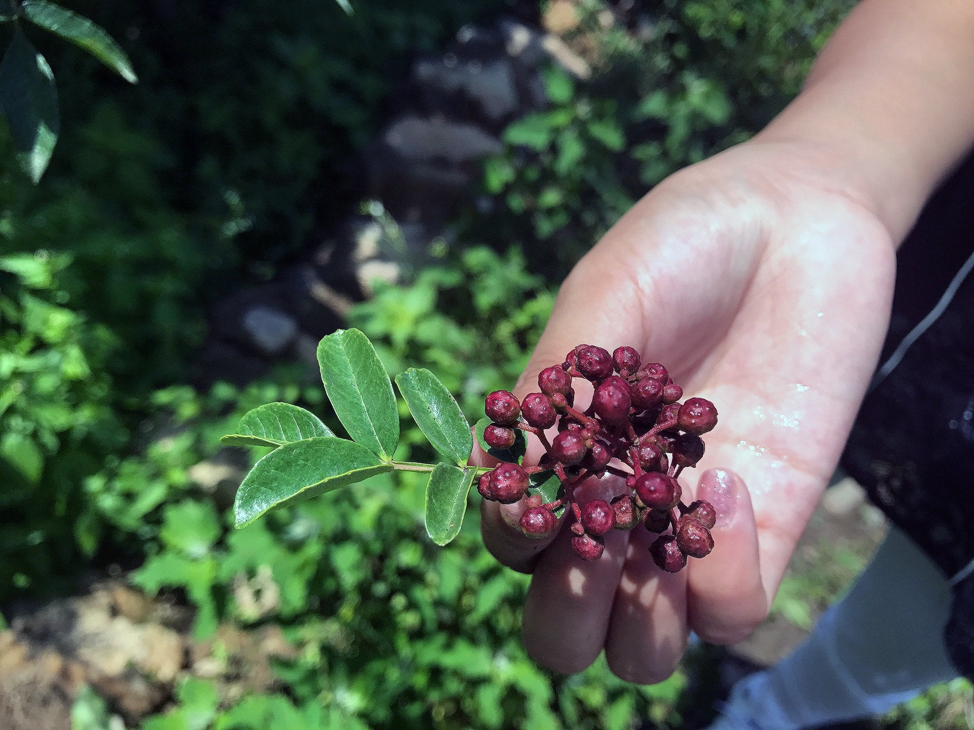 Red Sichuan pepper on the tree in Hanyuan