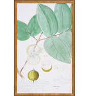 Eugenia Lithograph