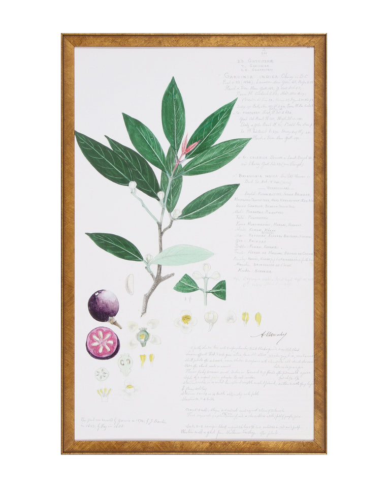 Kokum Fruit Lithograph