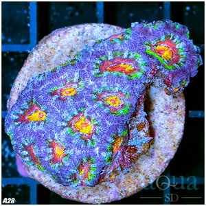A28 Super Acan Colony (Egg Crate Behind is 3 Squares = 2'')