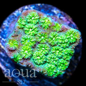 ASD Glow in the Dark Cyphastrea