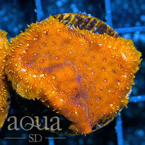 ASD Orange Flame Pavona