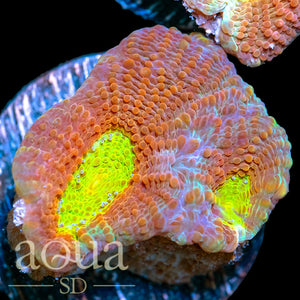 ASD Pumpkin Patch Acan Enchinata