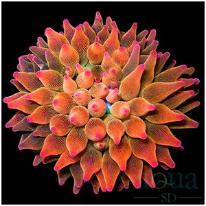 ASD Rainbow Sunfire Bubble Anemone Approx 7''