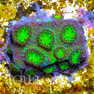 ASD Toxic Eyes Cyphastrea