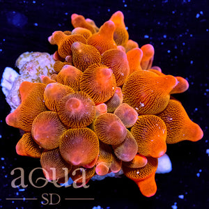 Absolute Stunner Tank Grown Rose Bubble Anemone