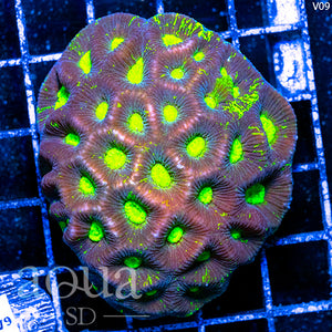 Aussie Blinding Goniastrea Colony (Egg Crate Behind is 3 Squares = 2'')