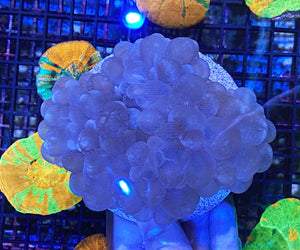 Aussie Sweet Bubble Coral (4'' Disk Behind)