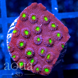 Bling Bling Cyphastrea