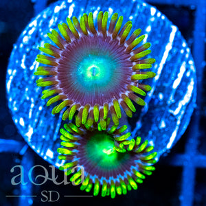 Dragon Eye Zoas