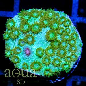 Glow in the Dark Cyphastrea