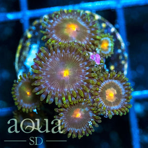 Gold Star Zoas
