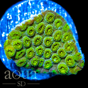 Golden Nugget Cyphastrea