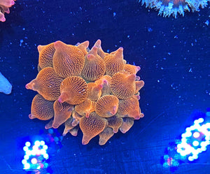 Home Grown Electric Bubble Tip Anemone