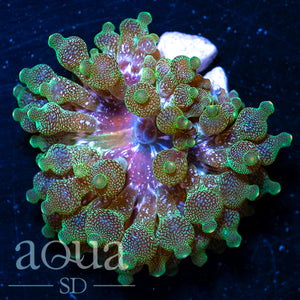 Orange Tipped BUBBLE TIP ANEMONE APPROX 2 - 3'' WHEN OPENED