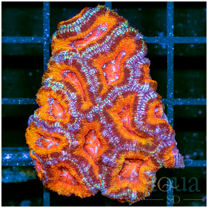 Rainbow Aussie Acan Colony (egg crate behind is 3 squares = 2'')