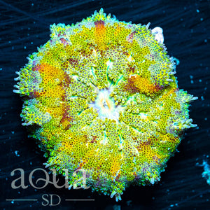 Rainbow Maxi Mini Carpet Anemone